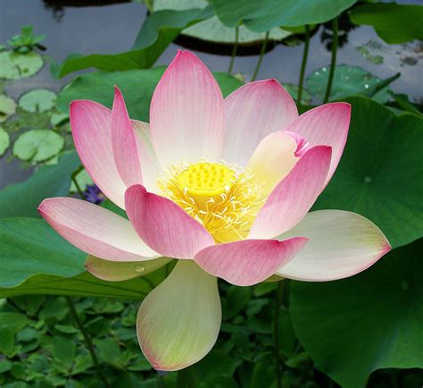 lotus flower nelumbo nucifera
