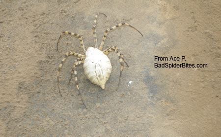 White P spider identification