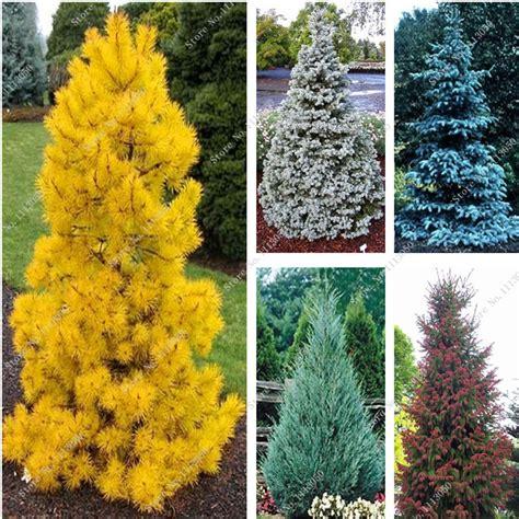 cheap trees get cheap evergreen trees alibaba