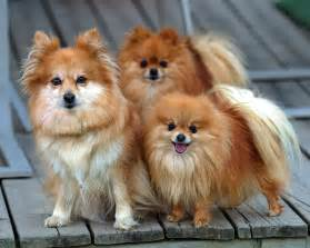 pomeranian all small dogs wallpaper 18774592 fanpop