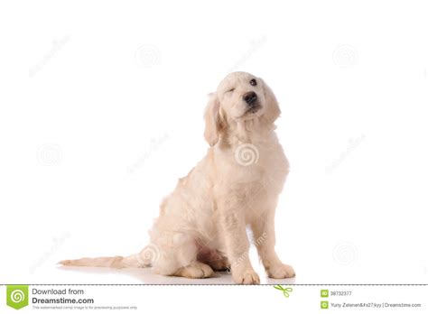 purebred golden retriever puppy purebred golden retriever royalty free stock photography image 38732377