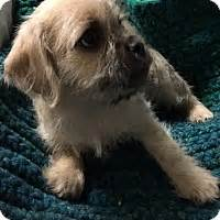 pug rescue california los angeles los angeles ca pug cairn terrier mix meet pikachu a puppy for adoption