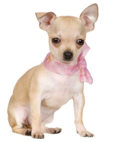 cani piccola taglia pelo corto da appartamento cani piccola taglia pelo corto in regalo decora la tua vita