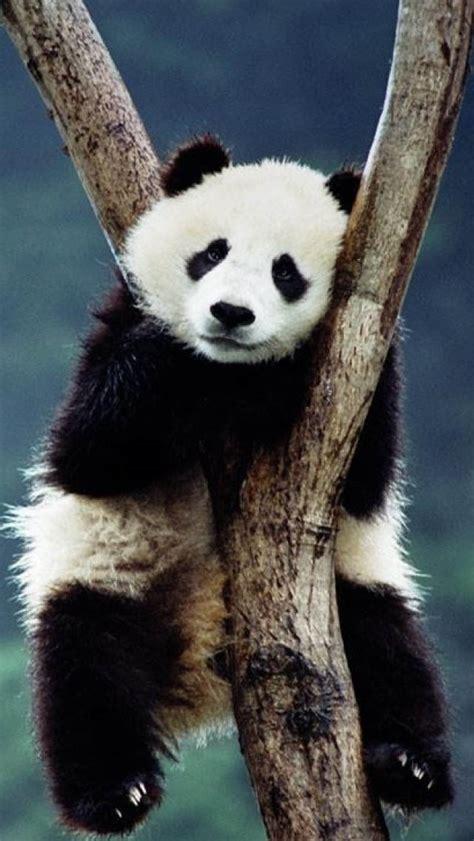 panda   tree wallpaper  iphone wallpapers
