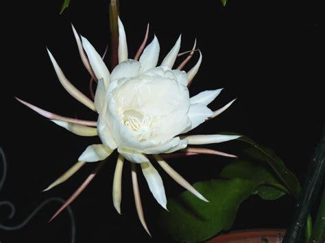 imagenes de flores que abren de noche archivo fleur de lune 200809 22r jpg wikipedia la