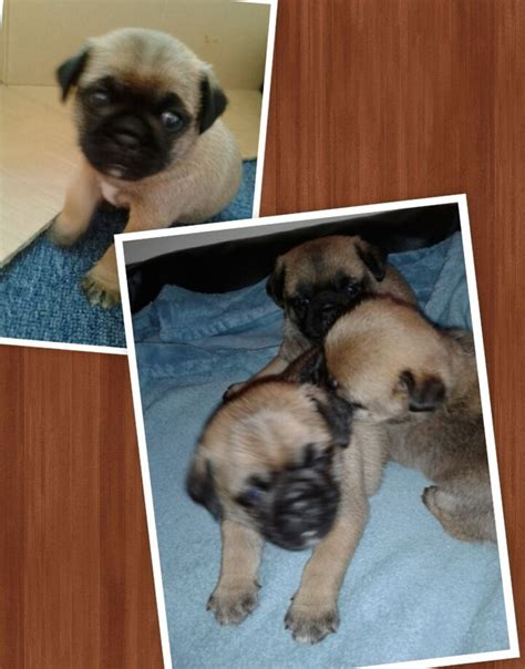 pug x border terrier border terrier puppies for sale images