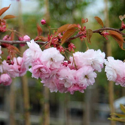 prunus pink parasol japanese flowering cherry tree