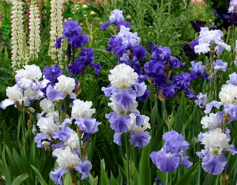 world  irises  blue iris garden planting