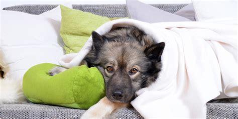prachtrosella haltung in der wohnung haltung hunden in der wohnung hunde de