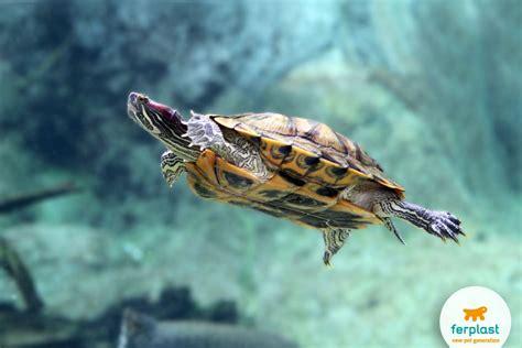 vasche per tartarughe d acqua dolce tartarughe acquatiche cosa sapere ferplast