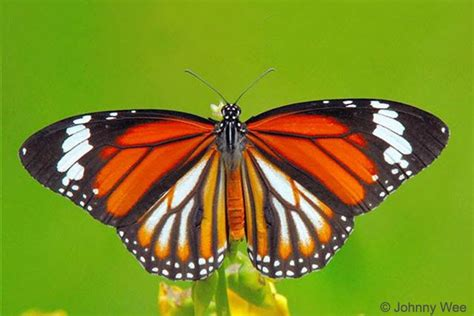 so far so good fridgie butterfly butterflies of singapore butterfly of the month