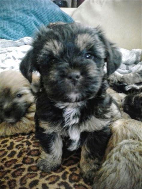 hypoallergenic dogs shih tzu shih tzu x yorkie puppy hypoallergenic buckfastleigh pets4homes