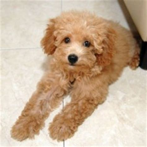 miniature poodle lifespan poodle not in the housenot in the house