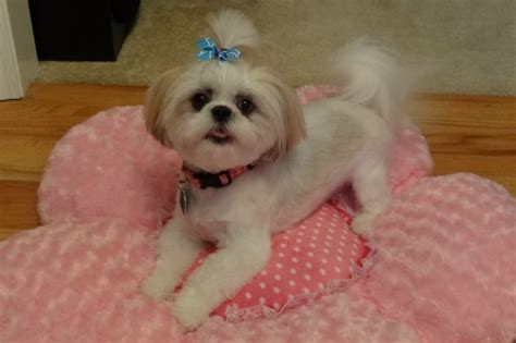 shih tzu beds 17 best images about shih tzus best doggies on pets puppys and