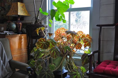 tucked in with my begonias a recap of their care a way to garden