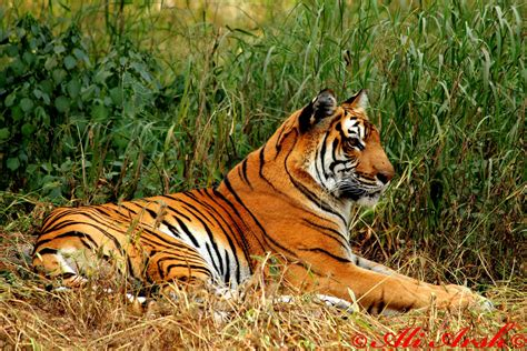 tiger biography in english the queen royal bengal tiger average life span in the