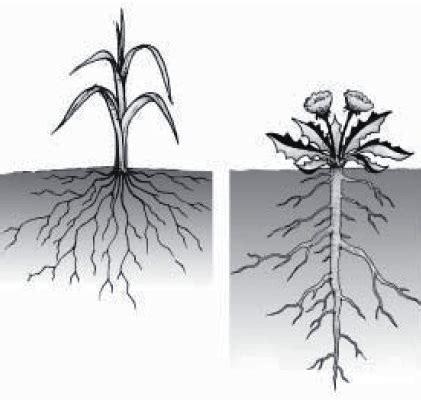 struktur  fungsi akar  tumbuhan gambar