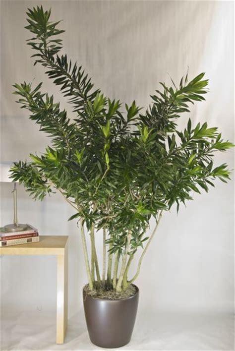 indoor garden songs indoor plants reflexa song of jamaica gardening outdoor projects indoor