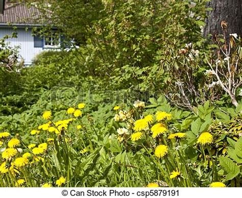 backyard full of weeds stock photography of neglected garden full of weeds blue house in the background