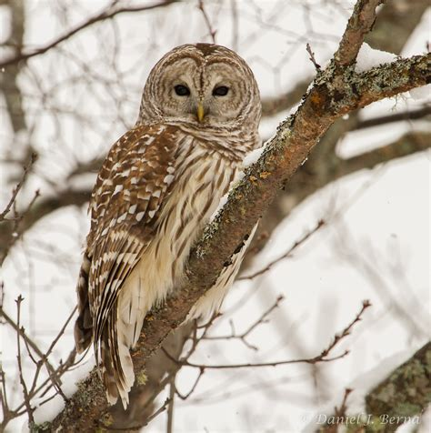 daniel berna photography barred owl