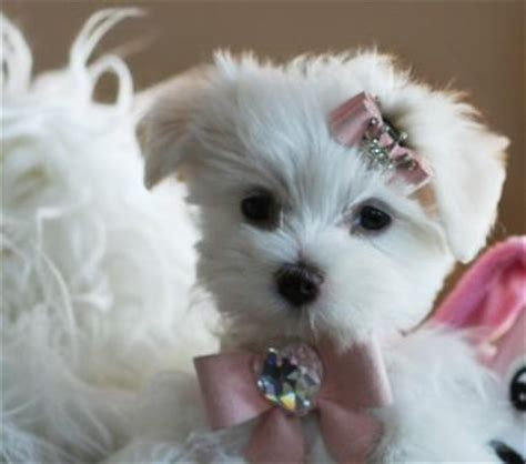 teacup maltese puppies for sale in az maltese for sale toys model ideas