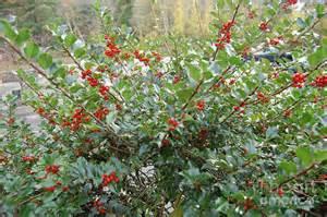 holly berry bush photograph