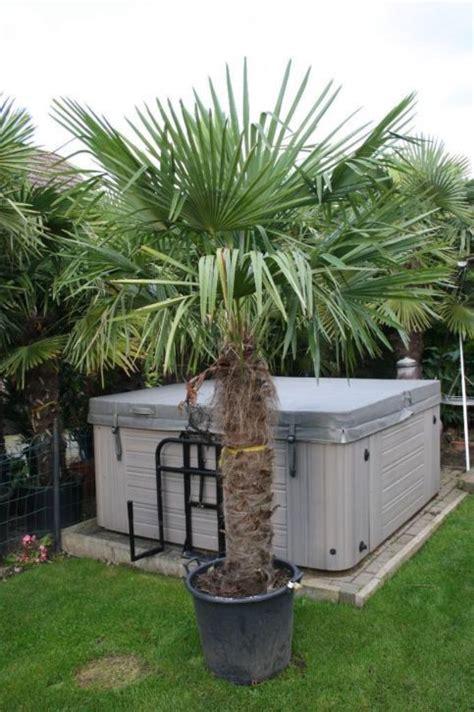 winterharde palmboom in tuin waaierpalm palmboom trachycarpus fortunei vlonder