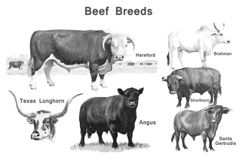 cow breeds beef cattle breeds