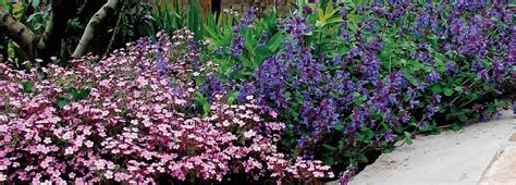 fiori perenni tappezzanti le piante tappezzanti che fioriscono nelle zone difficili