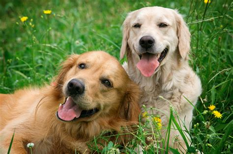 puppy daycare seattle 3 benefits of sending your pup to day care dogcity daycare seattle seattle