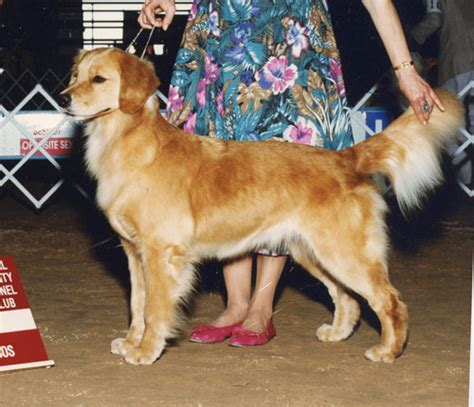 scion golden retrievers