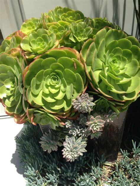 succulent plants world of succulents aeonium urbicum saucer plant world of succulents