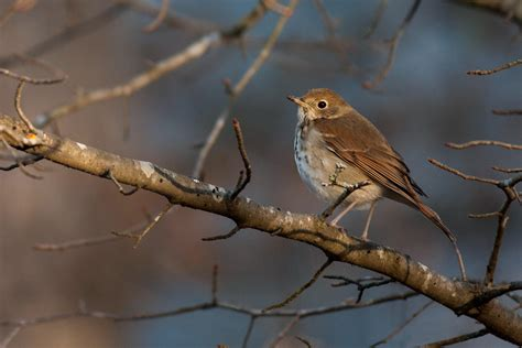 backyard birds of virginia hermit thrush audubon field guide
