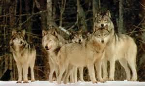 Species survival status arctic wolf