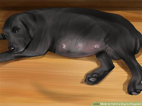 how is a dogs pregnancy 4 ways to tell if a is wikihow