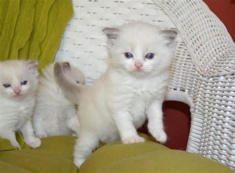 ragdoll cat price ragdoll kitten price and information