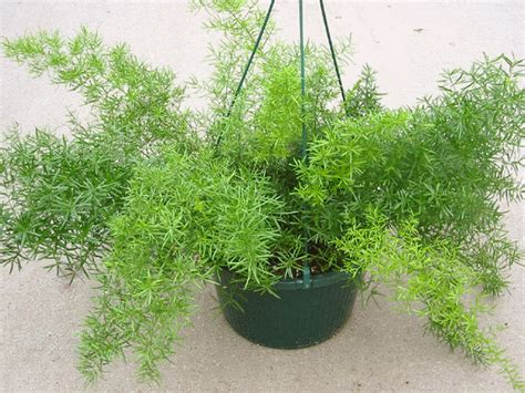 Planting Pots For Sale by Asparagus Fern Also Called Bride S Bouquet Fern Or Lacefern Asparagus Setaceus Also Asparagus