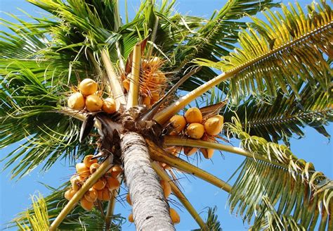 palm trees that fruit panoramio photo of coconut palm tree of fruit