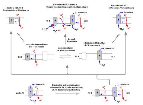 oscillatoria diagram oscillatoria labeled related keywords oscillatoria