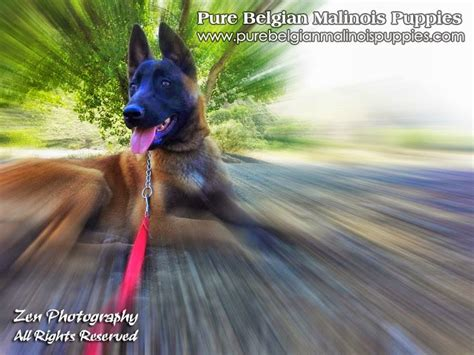 puppies for sale in san diego ca san diego belgian malinois breeders puppies for sale in california malinois
