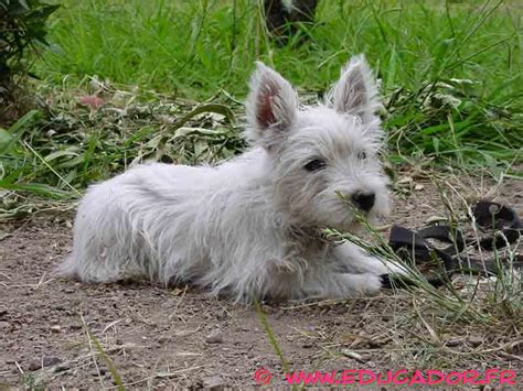 West Highland White Terrier Shedding by West Highland White Terrier