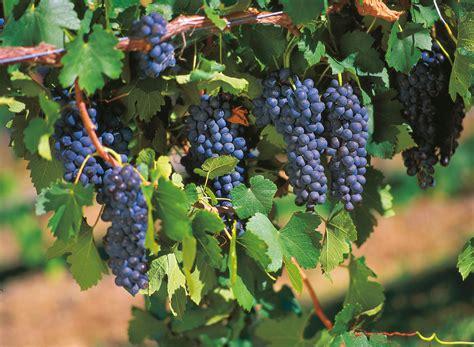 flourishing wineries of australia s gold coast