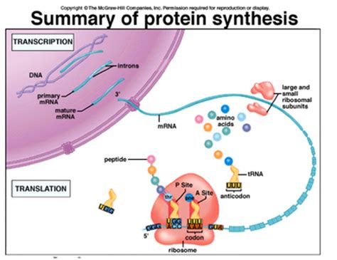dna replication and protein synthesis venn diagram sciencevogel organic molecules and you ii