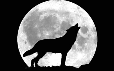 howling wolf fun animals wiki  pictures stories