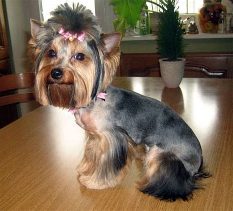 different hair cuts for toy yorkies pinterest the world s catalog of ideas