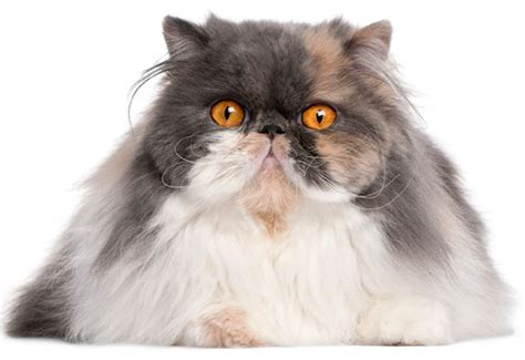 Types Of Haired Cats by Haired Cat Breeds Cat Breeds Encyclopedia