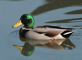 mallard identification all about birds cornell lab of