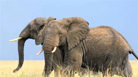 african elephant facts african elephant pictures kids www pixshark com images