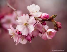 pictures of cherry blossoms the cherry blossoms of branch brook stylepeterson com