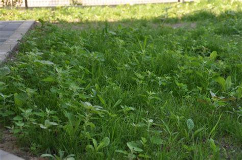 Unkraut Aus Rasen Entfernen by Rasen Neuanlage Unkraut Pur Im Neuen Rasen Hausbau